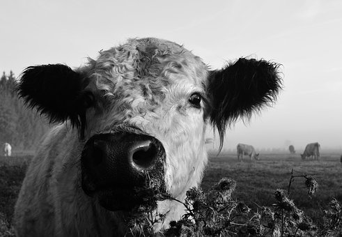 Cow, Cow Head, Beef, Portrait, Animal, Close