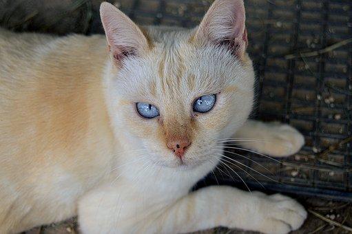 Blue Eyes, Cat, Eyes, Color, Gata, Feline Look, Feline