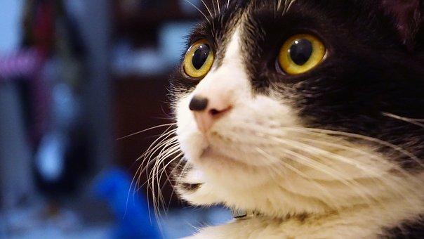 Cat, Cute, Home, Kitten, Animal, Pet, Feline Look