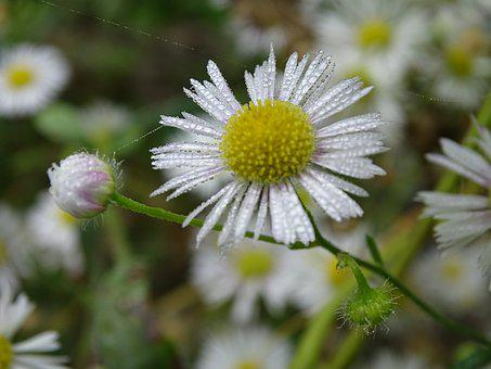 Fine Jet, Fleabane, Wild Aster, Occupation Herb White