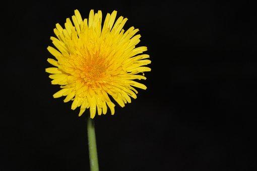 Yellow Flower, Flower Dandelion, Black Background