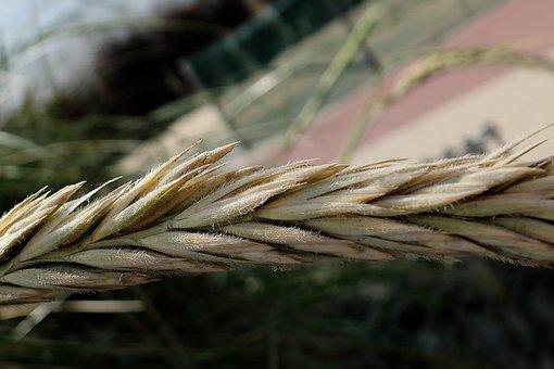 Cereals, Beach, Dune Grass, Barley, Grain