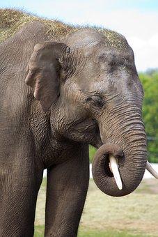 Elephant, Large, Grey, Trunk, Animal, Big Five