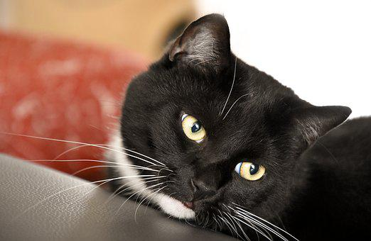 Domestic Cat, Animal Shelter, Mieze