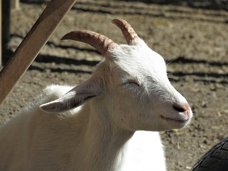 Goat, Farm Animal, Animal, Farm, Horns, Rest