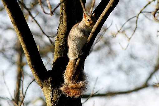 Squirrel, London, Park, England, Tree