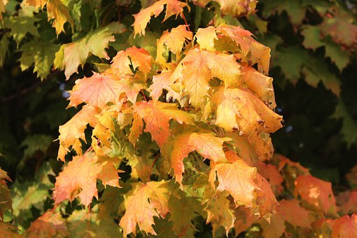 Clone, Maple Leaves, Autumn, Sunny, Tint, Tree, Nature