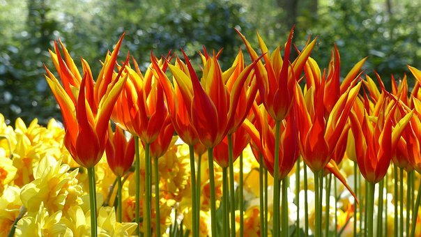 Tulip, Garden, Keukenhof, Amsterdam, Botany, Flora