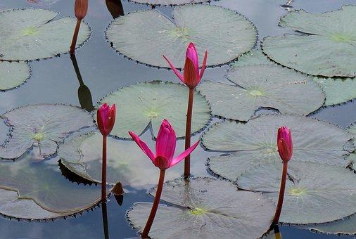 Flower, Lily, Pink, Vietnam, Gun Cotton