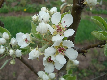 Blossom, Bloom, Pear Blossom, Nature, Spring, White