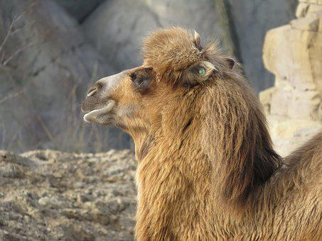 Camel, Mammal, Animals, Zoo, Head