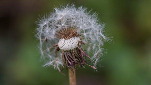 Dandelion, Autumn, Out, Nature, Close, Seeds