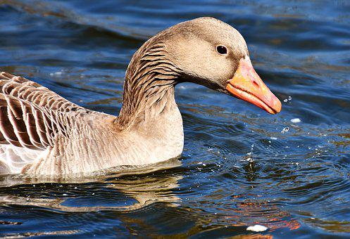 Goose, Water Bird, Water, Animal, Pond, Bird, Nature