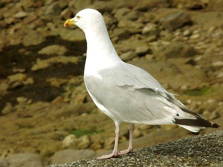 Seagull, Gull, Sand, Bird, Animal, Feathers