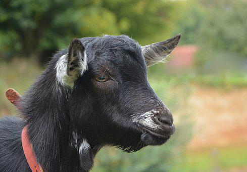 Goat, Portrait Profile, Black White, Small Goat