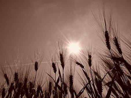 Wheat, Field, Cereals, Epi, Agriculture, Durum Wheat