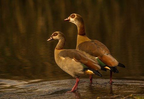 Egyptian Goose, Couple, Pair, Golden Hour, Egyptian