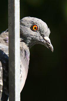 Pigeon, Bird, Feather, City, Beak, Eye