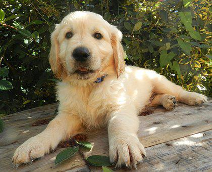 Golden Retriever, Pup, Puppy, Male, Photo Black White