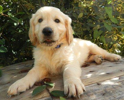 Golden Retriever, Pup, Puppy, Male, Photo Black White