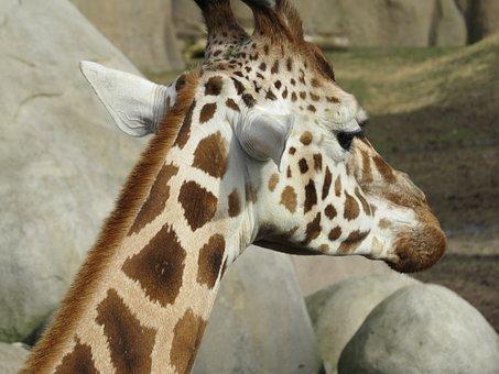 Giraffe, Animal, Mammal, Zoo, Nature