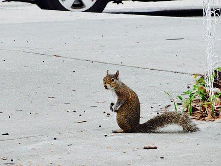 Squirrel, Rodent, Animal, Mammal, Wildlife, Cute, Furry