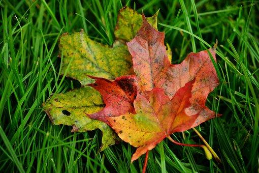 Fall Leaves, Maple Leaves, Maple, Fall Foliage, Autumn