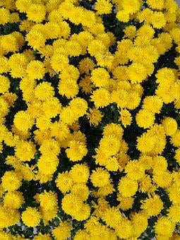 Yellow, Chrysanthemum, Pixar Bay