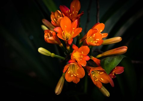 Flower, Shrub, Clivia, Nature, Garden, Plant, Floral