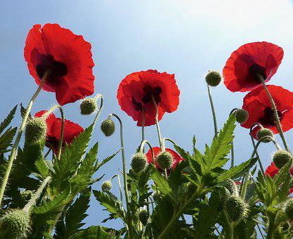 Poppies Red, Red Flowers, Green Leaves, Poppy, Red