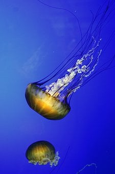 Jelly Fish, Jellyfish, Sea, Fish, Jelly, Water, Ocean