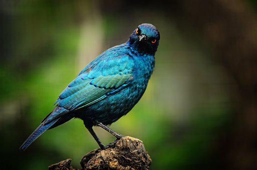 Cape Starling, Bird, Starling, Turquoise, Blue
