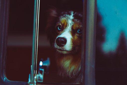 Dog, Face, Blue Merle, Shepherd, Cute, Fuzzy, Vw Bus