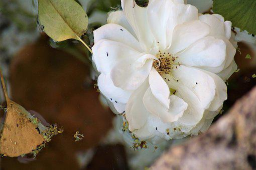 Flower, Water Surface, Drive, Blossom, Bloom, Pond