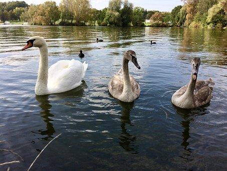 Swan, Nature, Birds, Wild Birds, Water Bird