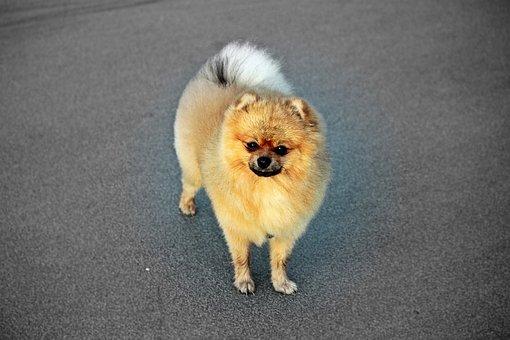 Spitz Miniature, Pure-breed Dog, A Friend Of Man