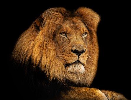Lion, King, Mane, Africa, Mammal, Safari, Feline, Leo