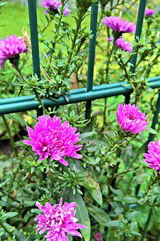 Asters, Herbstastern, Flowers, Many Flowers, Pink