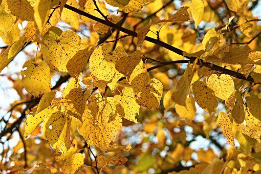Fall Foliage, Tree, Leaves, Autumn, Colored, Yellow