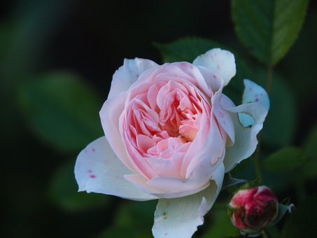 Rose, Blossom, Bloom, Faded, Nature Garden, Romantic
