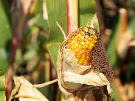 Corn, Piston, Field, Plant, Summer, Agriculture, Yellow