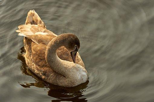 Swan, Cygnet, Young, Swan Young, Water Bird, Bird