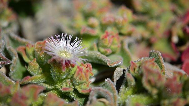 Flower, Succulent, Cactus, Nature, Flowering Cactus