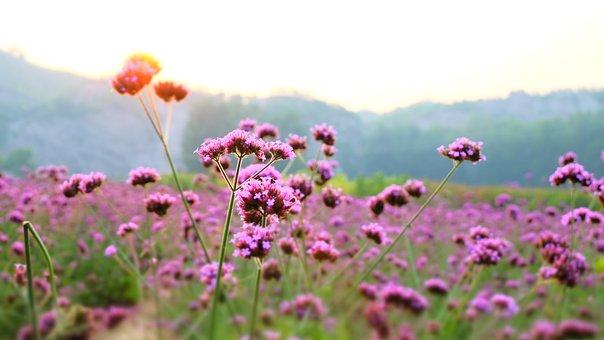 Lavender, Flowers, Vanilla