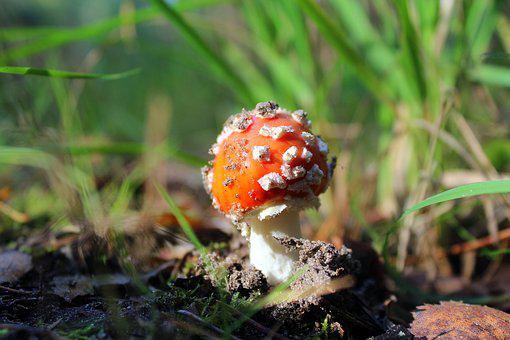 Fly Agaric Red, Poisonous Mushrooms, Forest, Autumn