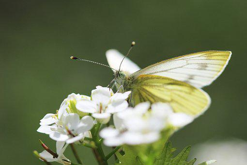 Butterfly, White, Nature, Flower, Insect, Macro, Forage
