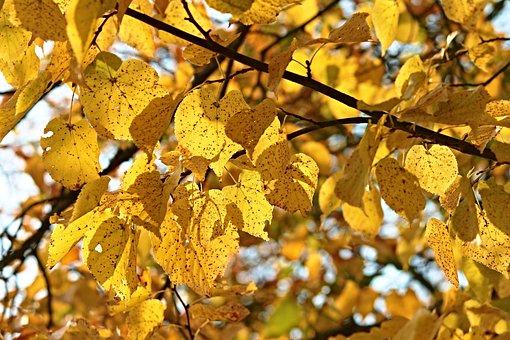 Fall Foliage, Tree, Leaves, Autumn, Colored, Yellow