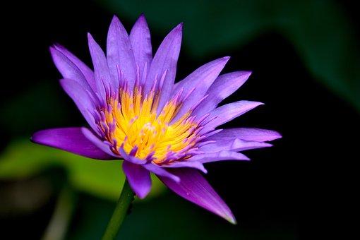 Waterlily, Flower, Flora, Lotus, Nature, Water, Pond