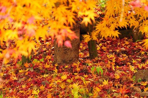 Autumn, Autumnal Leaves, Maple