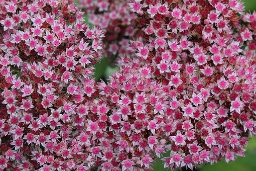 Plant, Sedum, Stonecrop, Flower, Nature, Garden